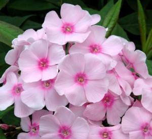 Phlox paniculata 'Sweet Summer (r) Sensation'