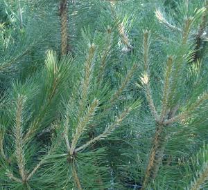 Pinus nigra var. austriaca