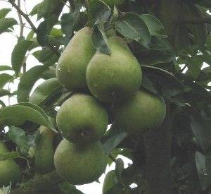 Pyrus communis 'Ananas de Courtrai'