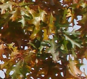 Quercus palustris Leivorm, niet voorgeleid tot éta
