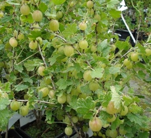 Ribes uva-crispa 'Hinnonmaeki Geel'
