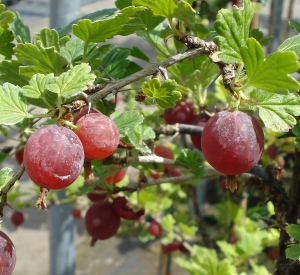 Ribes uva-crispa 'Hinnonmaeki Rood'