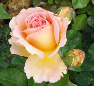 Rosa 'Abraham Darby' (r)