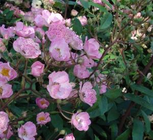 Rosa 'Alden Biesen' (r)