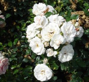 Rosa 'Aspirin Rose' (r)