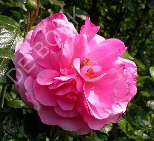 Rosa 'Aloha'