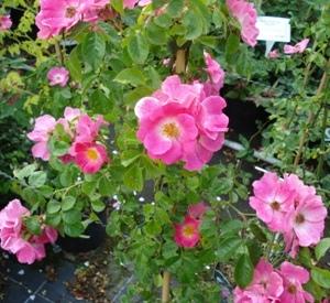 Rosa 'American Pillar'