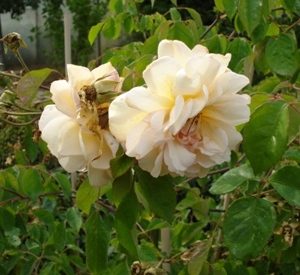 Rosa 'Buff Beauty'