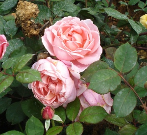 Rosa 'Brother Cadfael' (r)