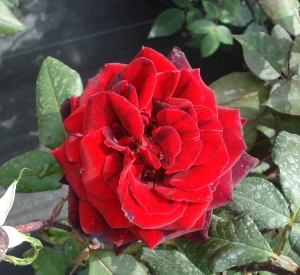 Rosa 'Barkarole' (r)
