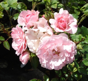 Rosa 'Bonica' (r)