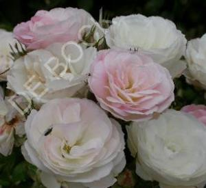 Rosa 'Bouquet Parfait' (r)