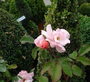 Rosa 'Clair Matin' (r)