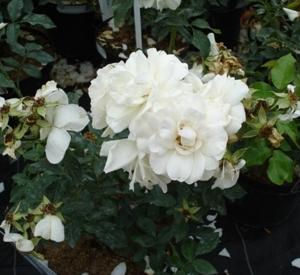 Rosa 'Carte Blanche' (r)