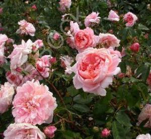 Rosa 'Colette' (r)