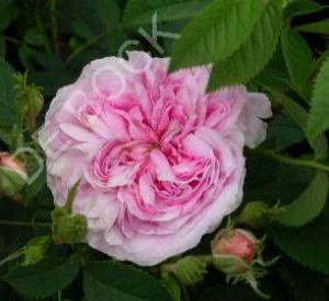 Rosa 'Königin von Danemark'