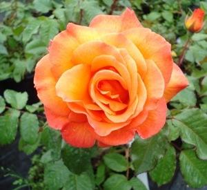 Rosa 'Doris Tysterman'