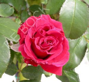 Rosa 'Duftwolke'