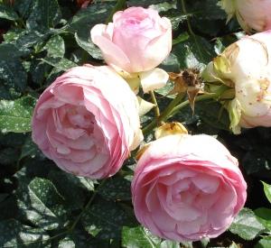 Rosa 'Eden Rose' (r)