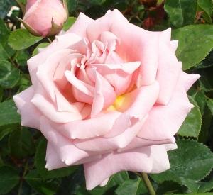 Rosa 'Fréderic Mistral' (r)
