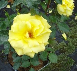 Rosa 'Friesia' (r)
