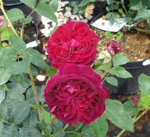 Rosa 'Falstaff' (r)