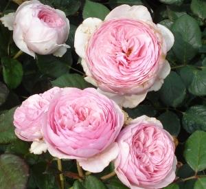 Rosa 'Geoff Hamilton' (r)