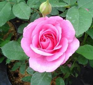 Rosa 'Gertrude Jekyll' (r)