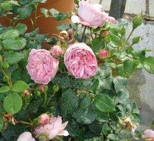 Rosa 'Guy de Maupassant' (r)