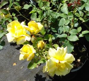 Rosa 'Garden Princess'
