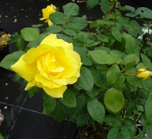 Rosa 'Gold Star'