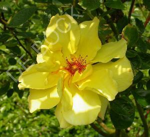 Rosa 'Golden Showers'