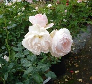 Rosa 'Héritage' (r)