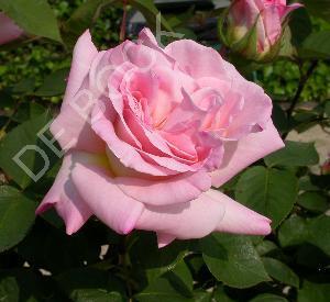 Rosa 'Jardins de Bagatelle' (r)