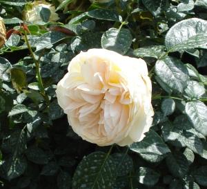 Rosa 'Mon jardin et ma maison' (r)