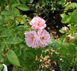 Rosa 'Kir Royal' (r)