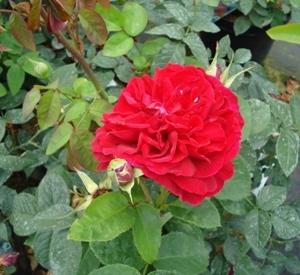 Rosa 'L.D. Braithwaite' (r)