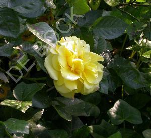 Rosa 'Lichtkoenigin Lucia' (R)