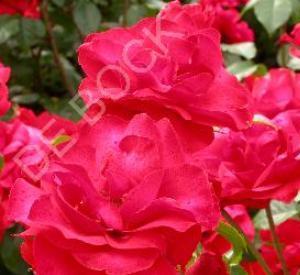Rosa 'La Sevilliana' (r)