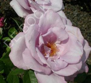 Rosa 'Mainzer Fastnacht' (r)