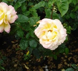 Rosa 'Mme A. Meilland'