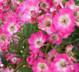 Rosa 'Mozart'