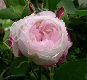 Rosa 'Mme Pierre Oger'