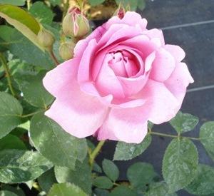 Rosa 'Mary Rose' (r)