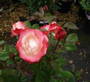 Rosa 'Nostalgie' (r)