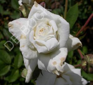 Rosa 'Pascali'