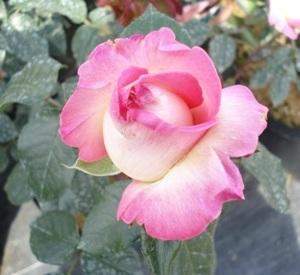 Rosa 'Princesse de Monaco' (r)