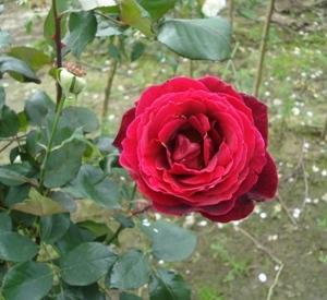 Rosa 'Papa Meilland' (r)