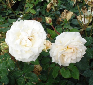 Rosa 'Poustinia' (r)