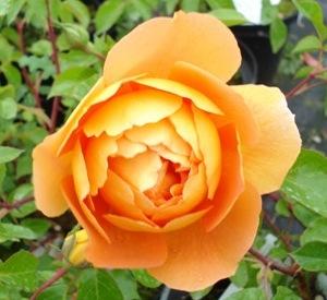 Rosa 'Pat Austin' (r)
